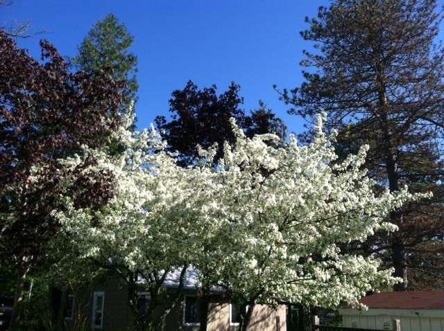 Spring-Trees-2015.jpg
